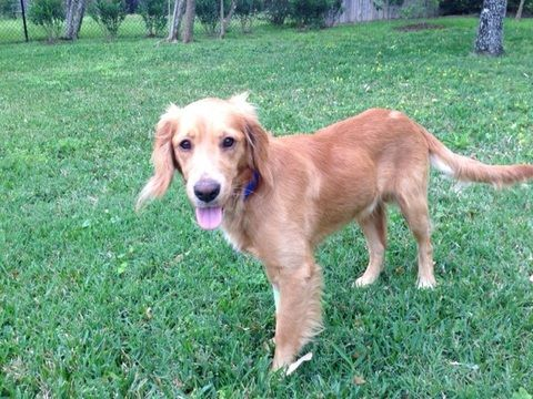 This Is Cole A 1 Yr Old Golden Mix He Came To Rescue A Sick Little Puppy He Is Recovering Nicely Little Puppies Golden Retriever Golden Retriever Rescue