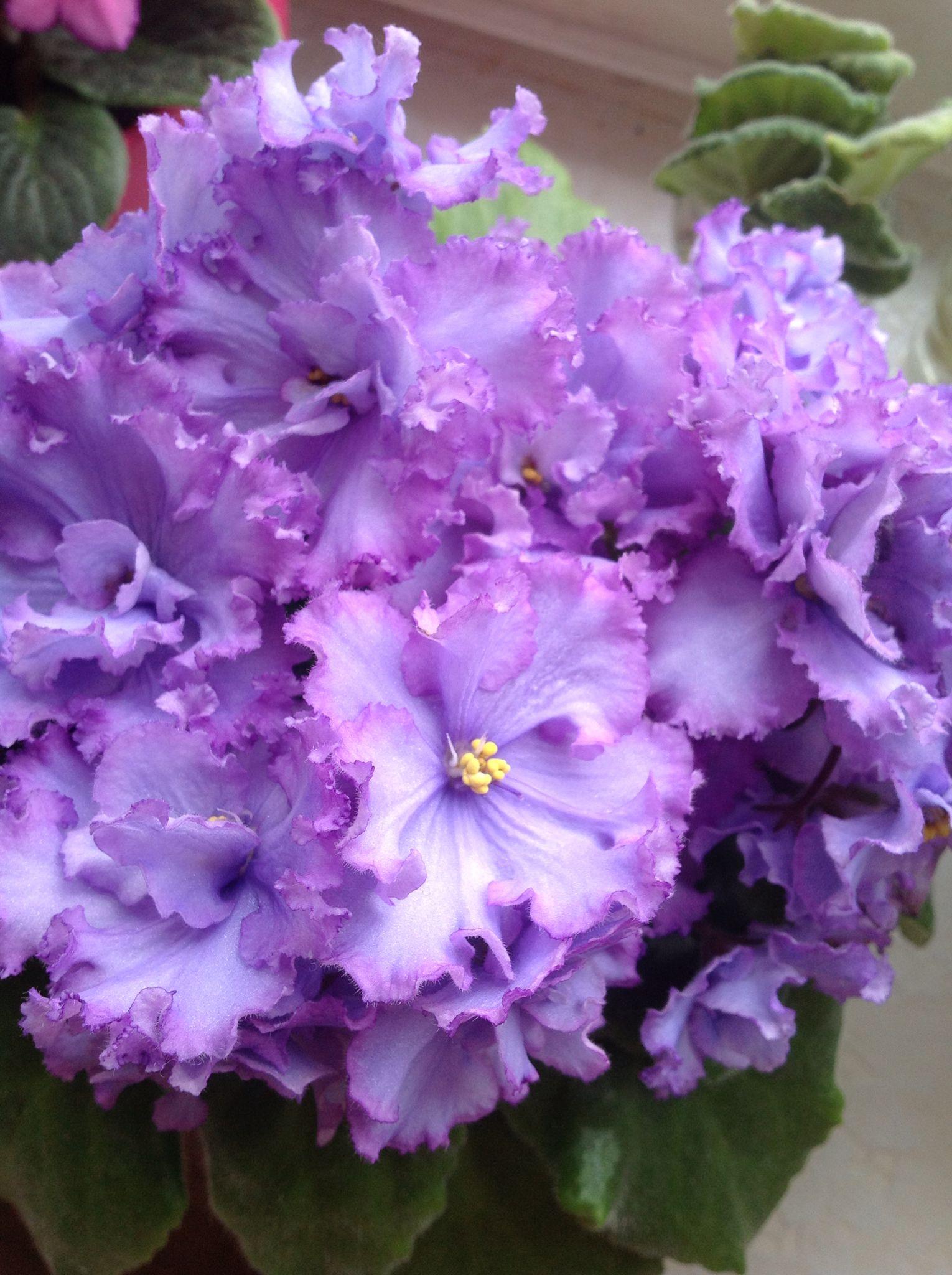 Violet Blue Dragon