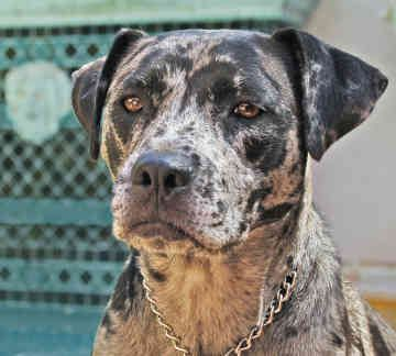 Louisiana Catahoula Leopard Dog Breeders Alberta | Image Gallery