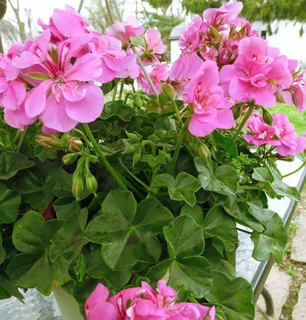 Уход за геранью (пеларгония)- Комнатные растения 20