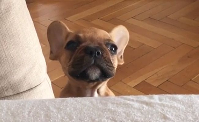 Daily Cute French Bulldog Puppy Attempts To Howl French Bulldog