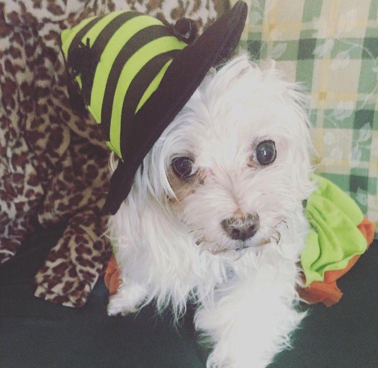 Kira Estefanía. Witch dog!!! #dog #cute #witch #green #adorable