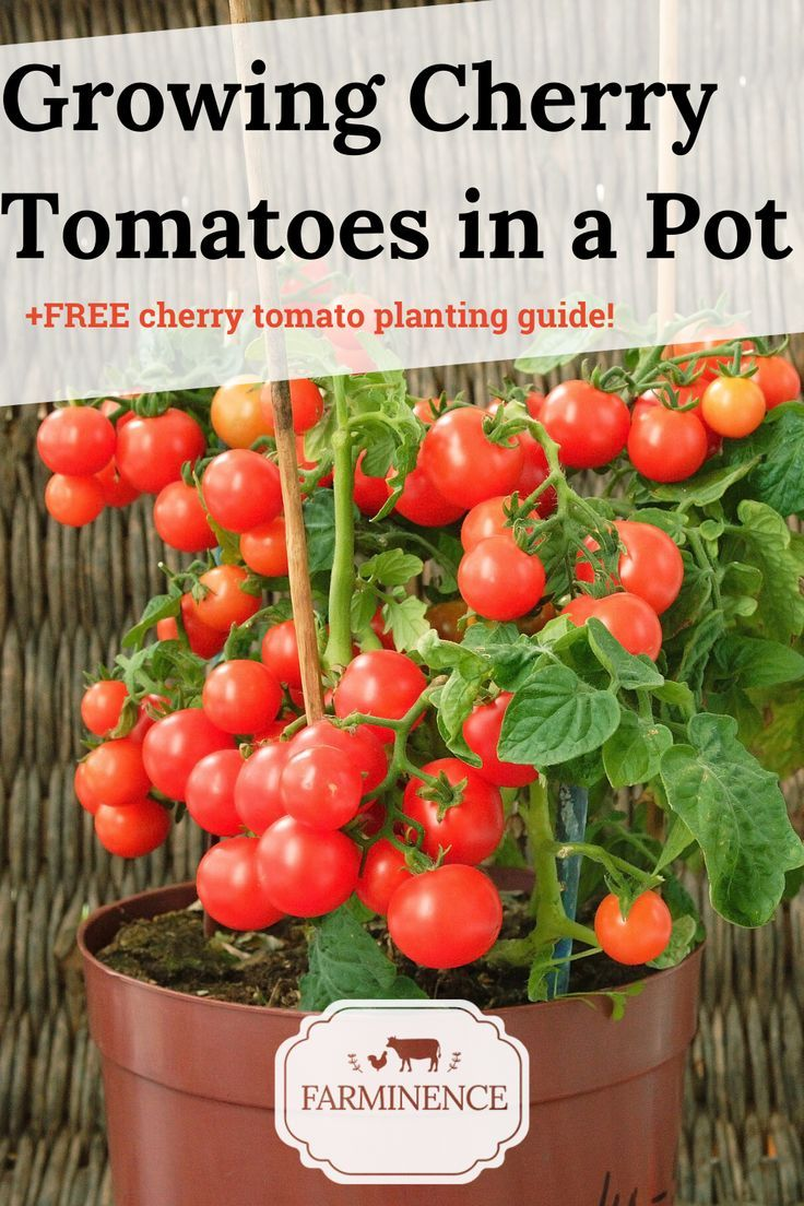 Want to know how to grow cherry tomatoes? Growing cherry tomatoes is a breeze with this guide! Learn everything you need to know about the cherry tomato plant and how to plant cherry tomatoes. Cherry tomato plant growing is an excellent way to ensure an abundant supply of cherry tomatoes. Plant cherry tomatoes in your outdoor gardens or container gardening vegetables. These Cherry tomato plant growing tips will have your cherry tomatoes off to a perfect start! vegetable container gardening tips