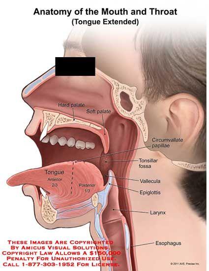 11213 04xv2 Jpg 425 550 Pixels Soft Palate Human Mouth Throat Anatomy