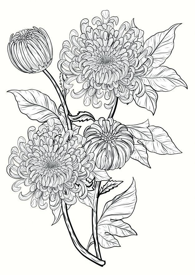 Chrysanthemum Flower Drawing Chrysanthemum Flower By Hand Drawing Premium Vector In 2020 Chrysanthemum Flower Drawing Chrysanthemum Drawing Flower Drawing