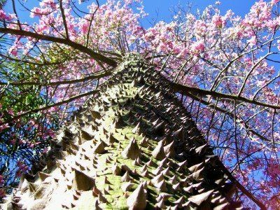Trees Pictures The Beautiful Silk Floss Tree Ceiba Speciosa Is One Of The Many Unique Trees Flowering Trees Tree Tops