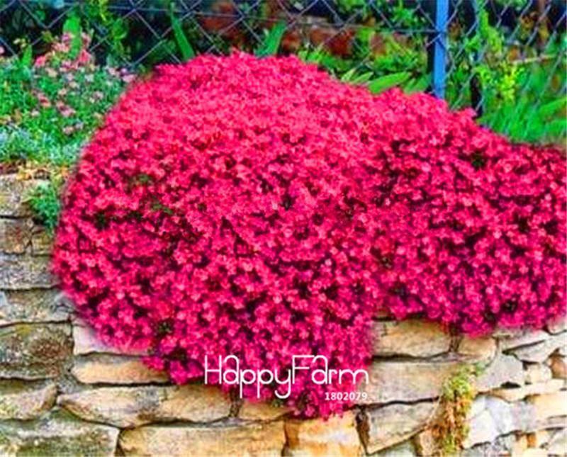 [Visit To Buy] Promotion! 100 Seeds/Bag Rock CressBright Red Rock Cress