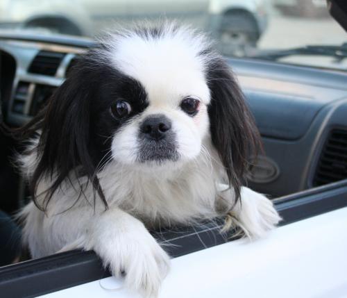 Adopt Priscilla On Petfinder Pekingese Dogs Pekingese Puppies