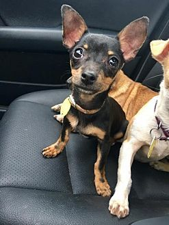 Pittsburgh Pa Chihuahua Meet Rosita A Puppy For Adoption Pets