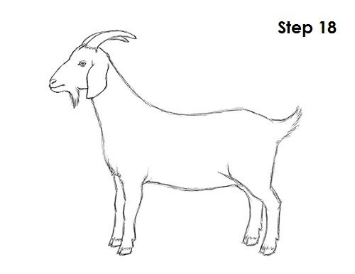 Goat Drawing 18