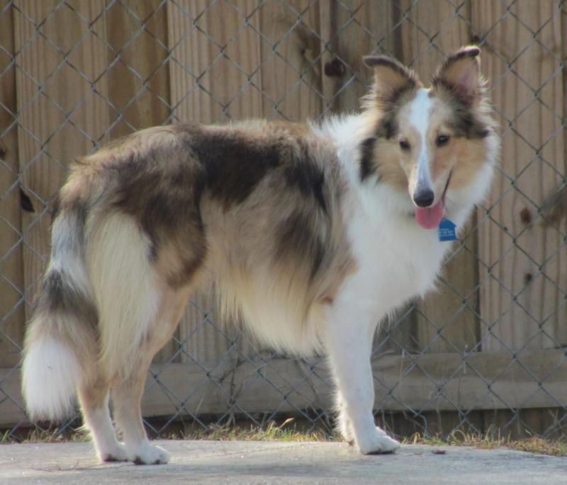 Adopt Shelly on Sheltie, Shetland sheepdog, Dogs