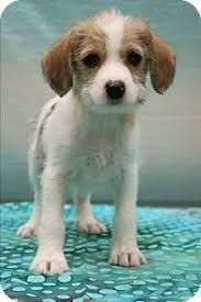 Image Result For Yorkie Beagle Mix Yorkshire Terrier Yorkie Yorkshire Terrier Yorkie
