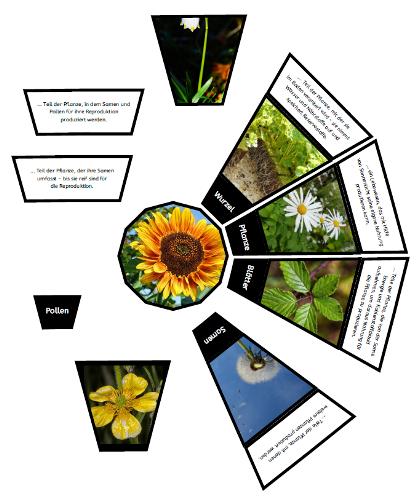 Pflanzenteile und ihre Funktionen | Pflanzenteile, Lehrmittel und ...