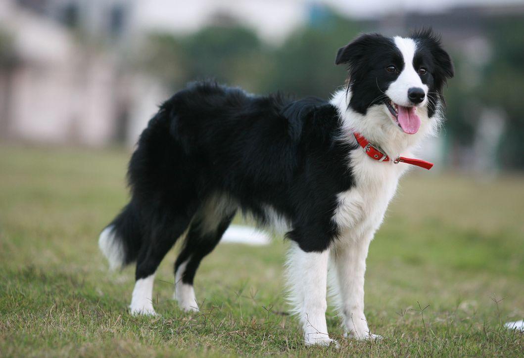 Idea By Kerrie Deacon On Collies 3 Herding Dogs Breeds