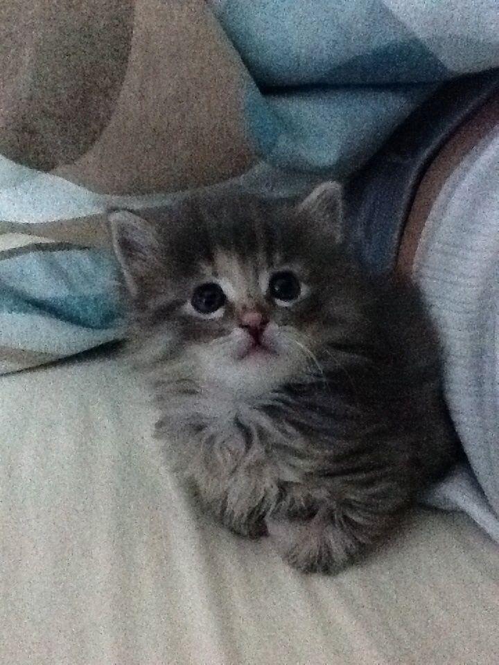 Long Haired Grey Kitten Grey Kitten Cats And Kittens Long