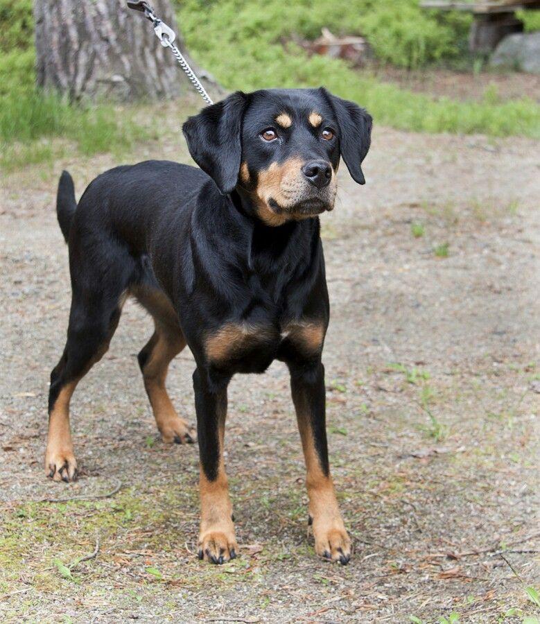 Swedish Smålandsstövare (scenthound) Hunter dog, Dog