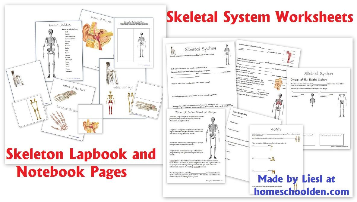 Skeletal System Worksheet Packet 6 Hands On Activities About