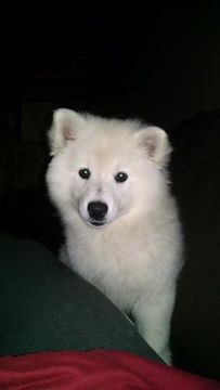 Litter Of 3 American Eskimo Dog Puppies For Sale In Cannon Falls