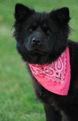 Jasmine Is An Adoptable Chow Chow Dog In Long Beach Ca Jasmine