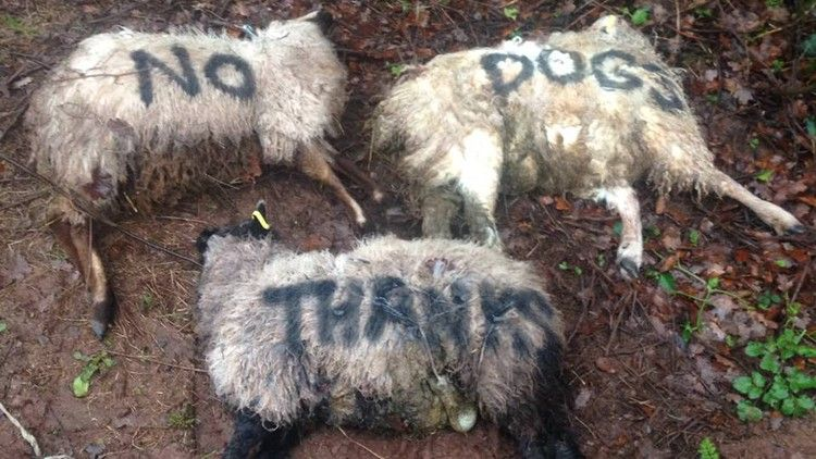 Farmer Paints No Dogs On Dead Sheep Following Attack Farminguk