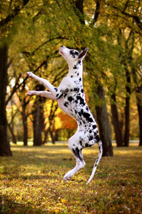 This Great Dane Is Jumping For Joy On A Gorgeous Autumn Day
