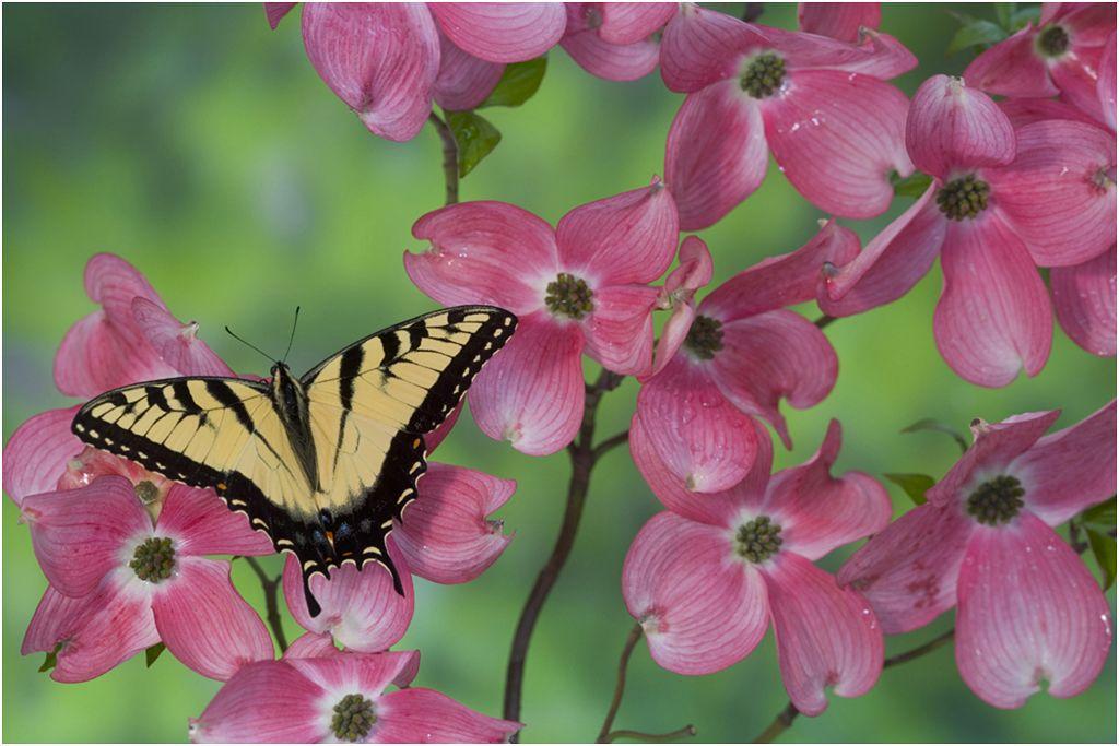 Eastern tiger swallowtail male butterfly on flowering pink