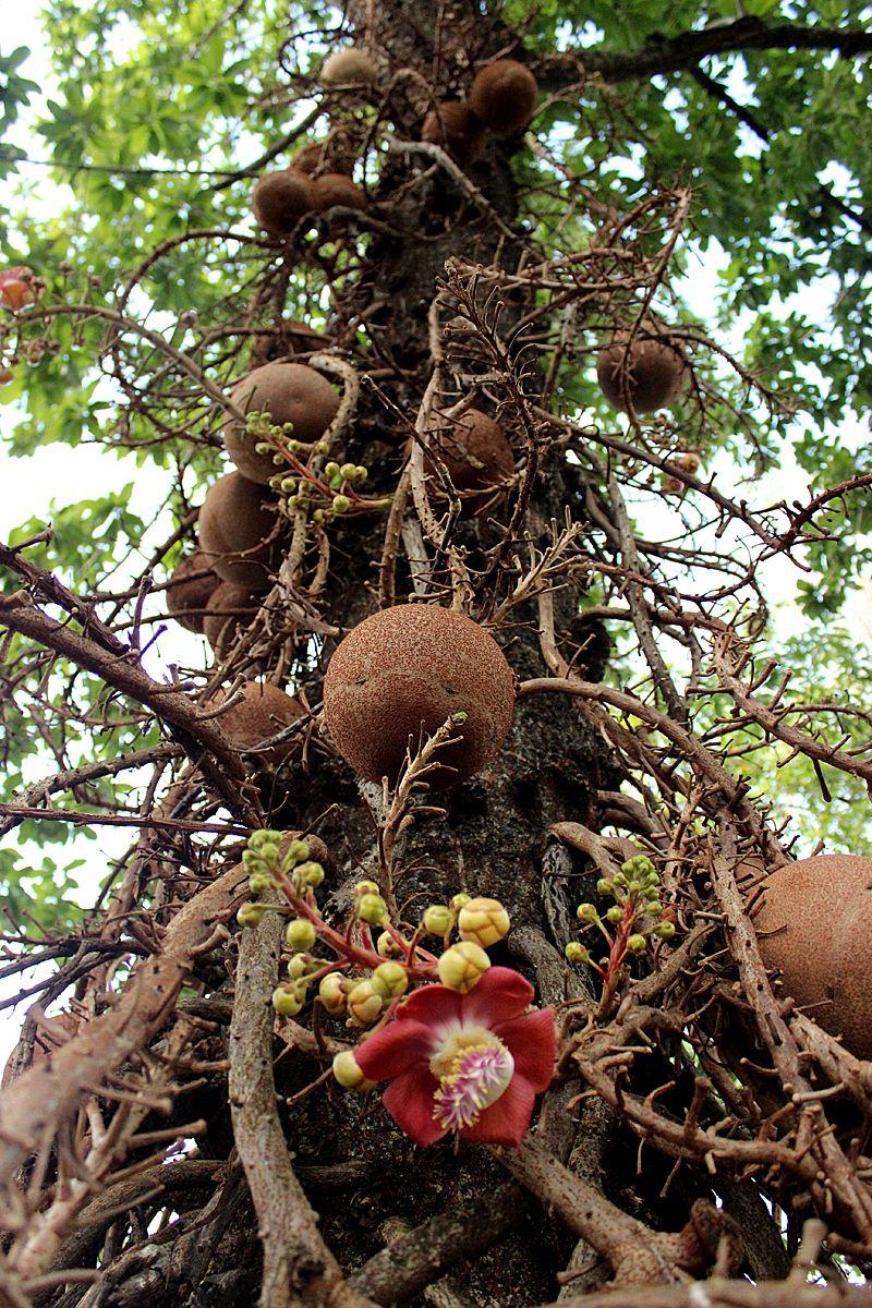 Botannical Oddities Pistachio Tree Fruit Trees Unique Trees