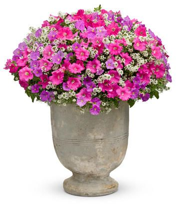 Supertunia Giant Pink Petunia Hybrid Butterflies And Flowers