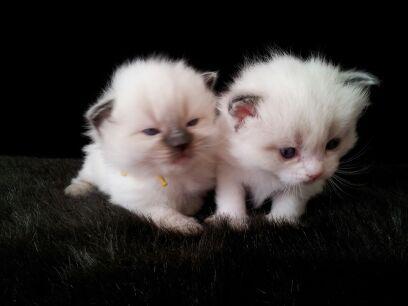 Ragdoll Kittens Ragdoll Kitten Kittens Animal Lover