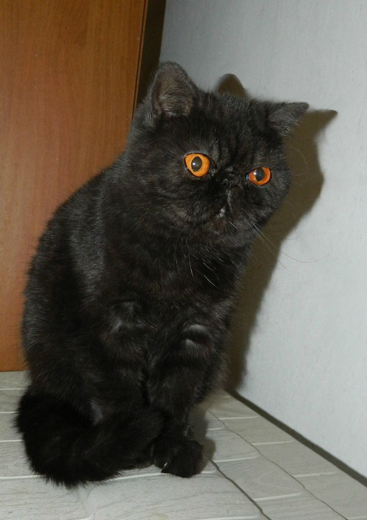 Pin On Exotic Shorthair