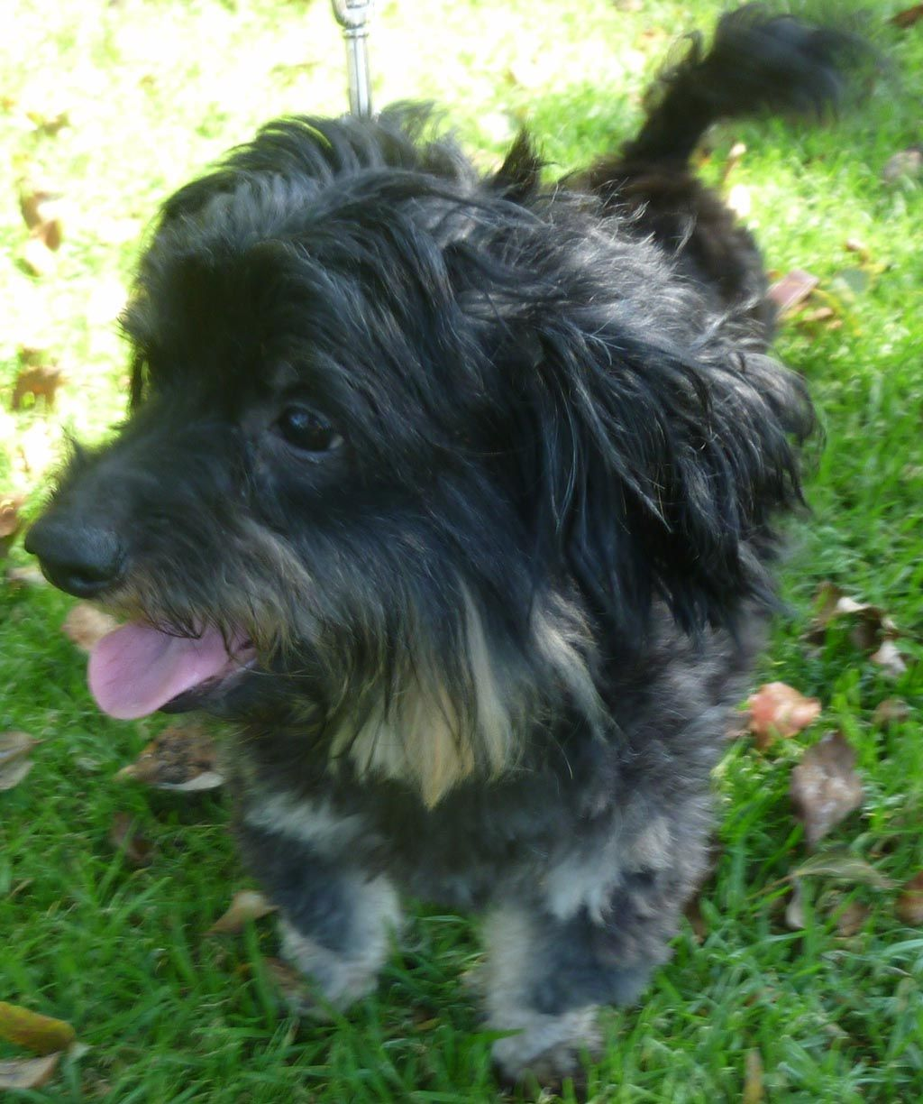 Dachshund Terrier Poodle Mix Dog Breed Information