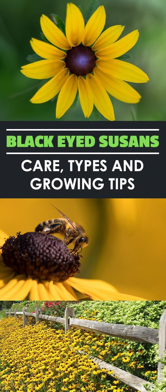Black Eyed Susan: How To Grow And Care For Rudbeckia Plants #howtogrowplants