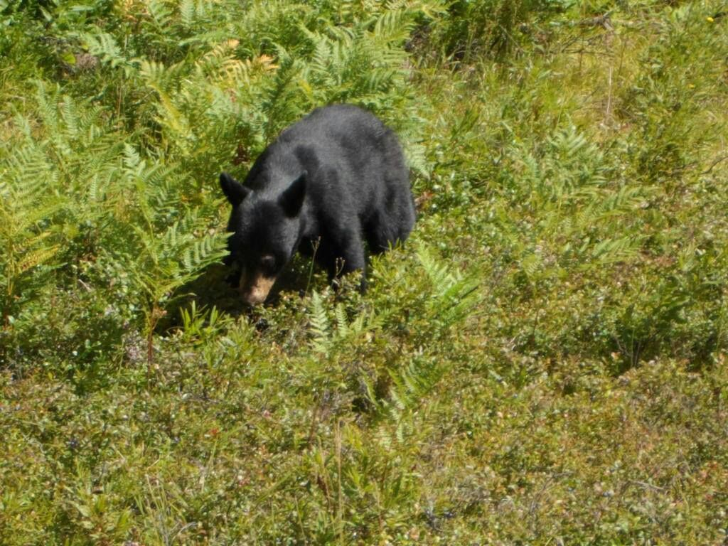 Black Bear Cub we spotted along the highway in Algonquin Provincial Park 2013. He was very cute and playful but we kept our distance since I'm sure mama bear was watching.