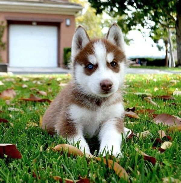 Totally Adorable Little Baby Husky Puppy Aww I Want Cute