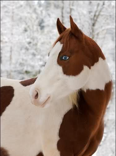 Black And White Paint Horse With Blue Eyes
