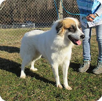 2/12/17 Reeds Spring, MO - Great Pyrenees/St. Bernard Mix. Meet Beethoven, a dog for adoption. http://www.adoptapet.com/pet/17568793-reeds-spring-missouri-great-pyrenees-mix