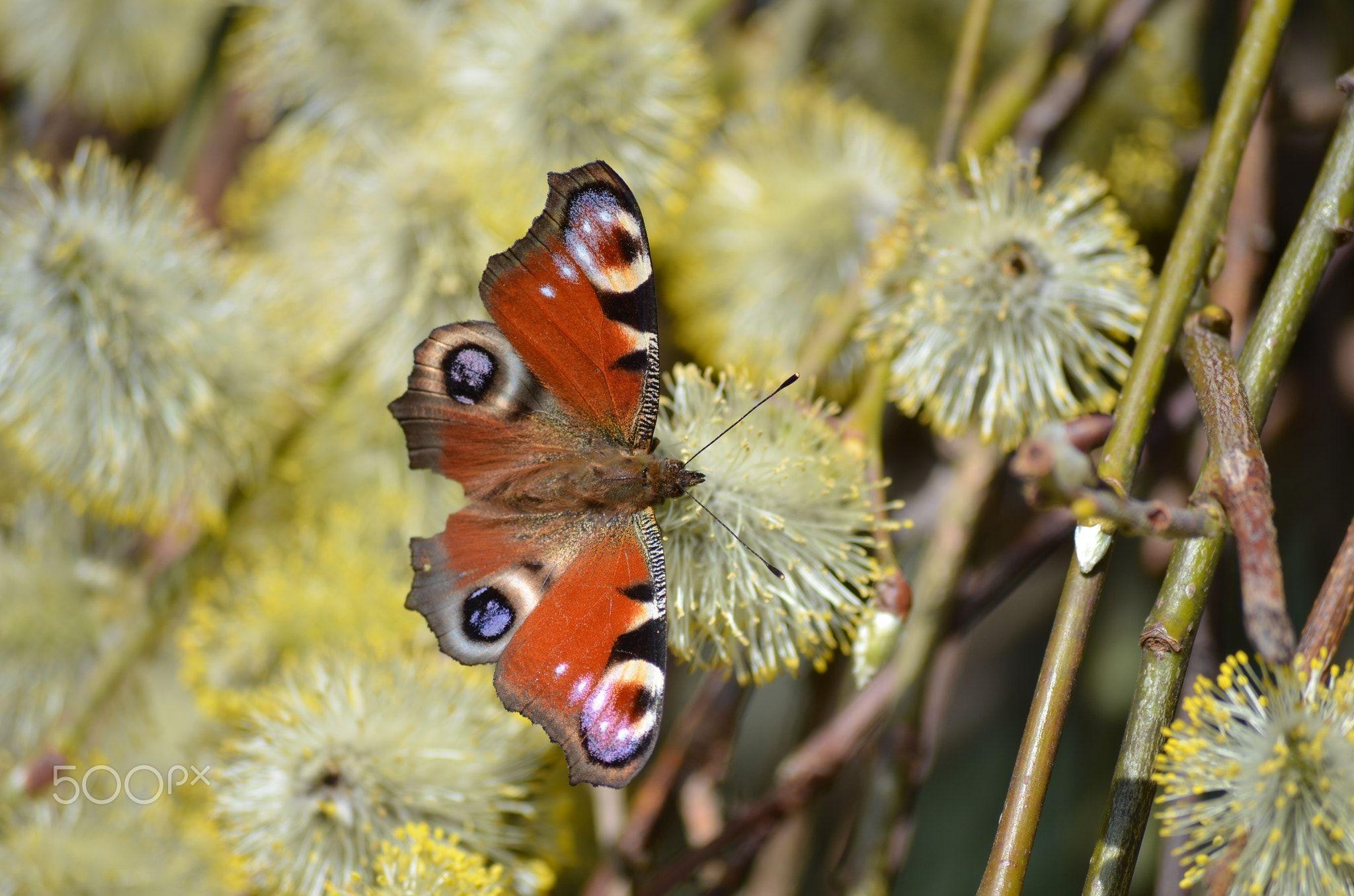 Schmetterling - Pfauenauge - Der Schmetterling genießt die Sonne und ...
