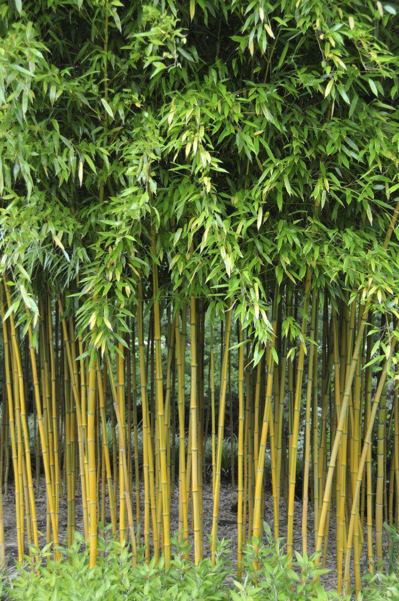 Kann Ich Bambus Im Kubel Halten Bamboo Bambus Im Kubel Bambus