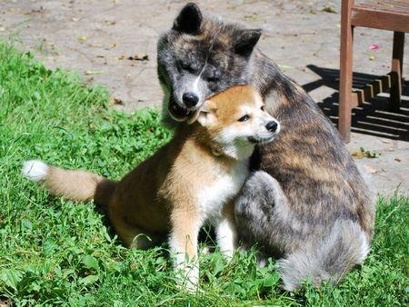 I Need To Get A Red Akita For Kenzo Akita Puppies Shiba Inu