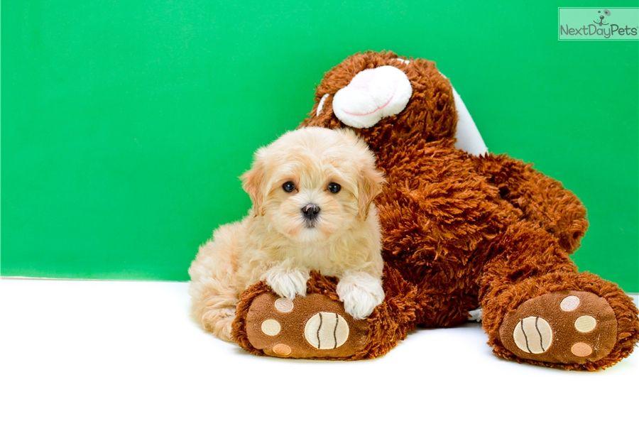 Malti Poo Maltipoo Puppy For Sale Near Columbus Ohio