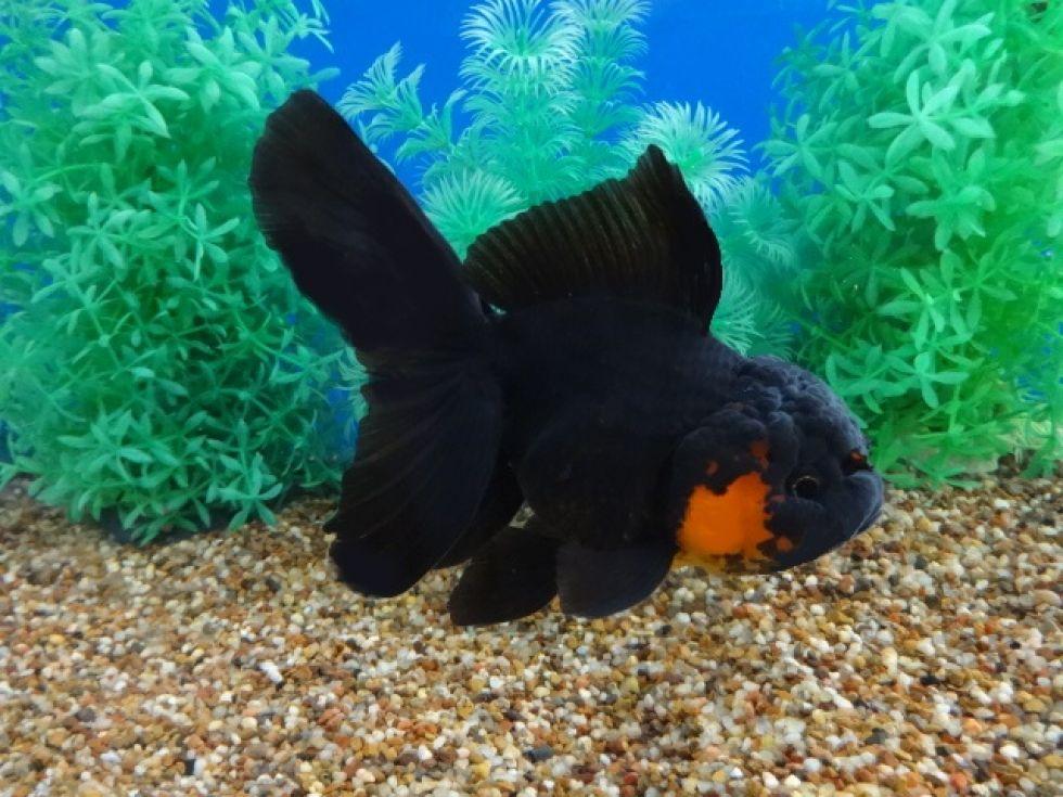 Lot 10204 Red Black Oranda Oranda Goldfish Goldfish Fish Pet