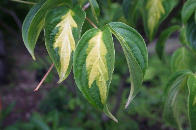 Flowering Trees Flowering Trees Plant Leaves Plant Catalogs