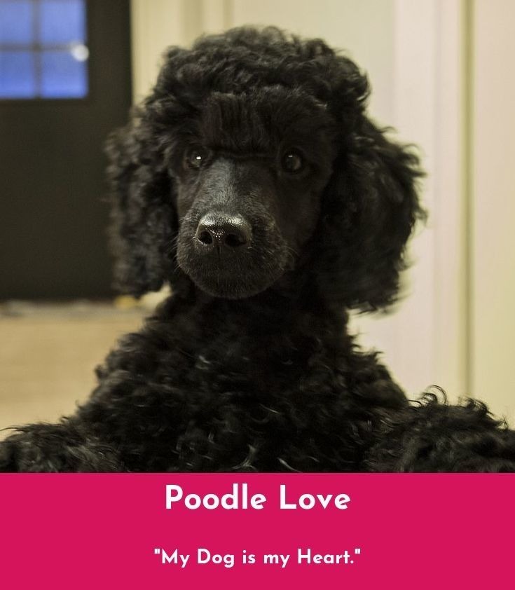 what are poodles used for