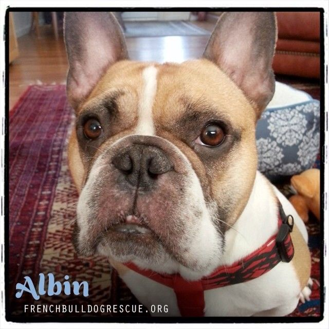 (1) Tumblr (With images) French bulldog rescue network