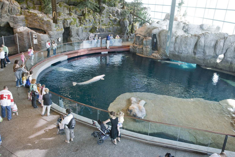 Beluga Whales At Shedd Aquarium Chicago Pinterest