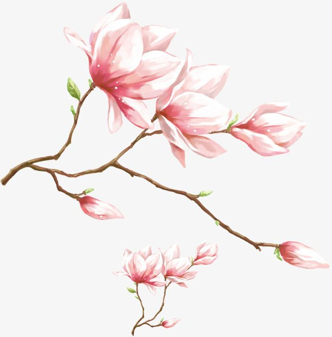 Watercolor Pink Magnolia Flower Watercolor Magnolia Watercolor Pink Flower Pink Magnolia Png Transparent Clipart Image And Psd File For Free Download Flower Painting Watercolor Flowers Paintings Flower Drawing