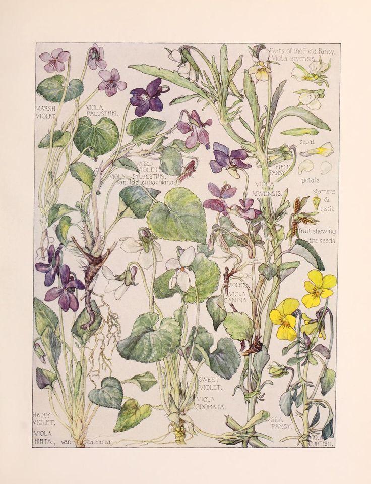 Old Botanical Book Violets Botanical Illustration Botanical Prints Botanical Art