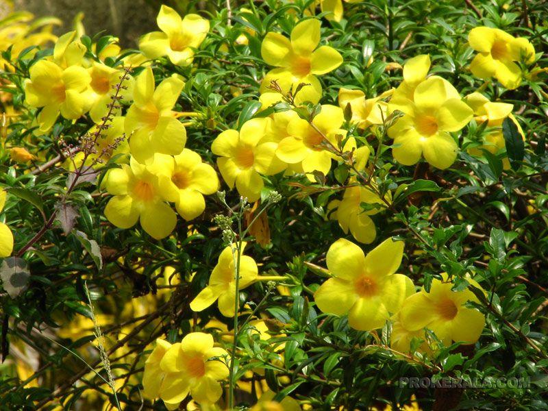 Thettipoo Flowers of Kerala Indian garden, Beautiful