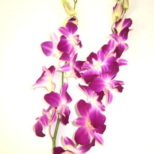 Choose A Wholesale Flower Or Product Category Wholesale Flowers Orchids Dendrobium Orchids