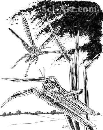 A plague of locusts - Illustration@Science-Art.Com ...